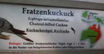 fratzenkuckuck