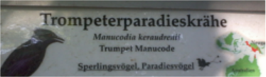 trompeterparadieskraehe